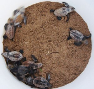 Turtle Hatchlings in Sand