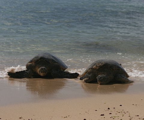 Honu Meaning Image Search Results Picture